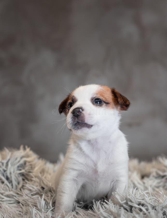 Chiot de Jack Russell Terrier avec des taches sur le museau, se reposant sur un tapis de Terry image stock