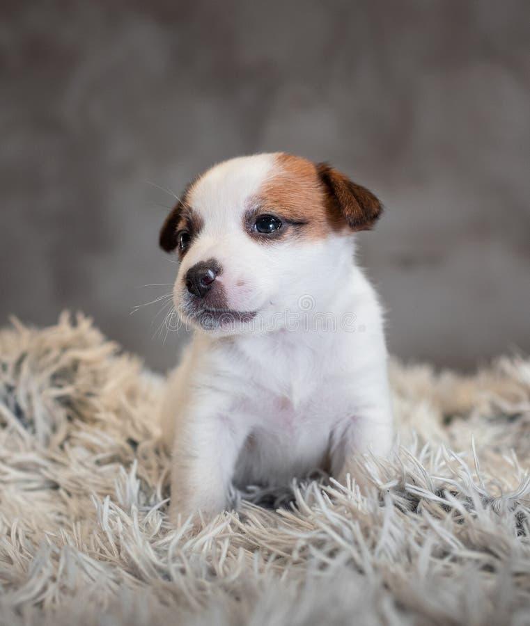 Chiot de Jack Russell Terrier avec des taches sur le museau, se reposant sur un tapis de Terry images libres de droits