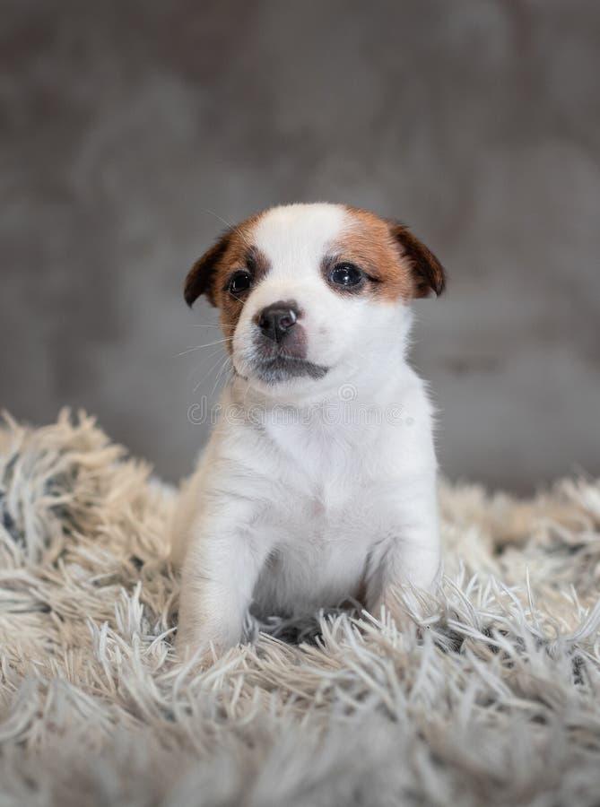 Chiot de Jack Russell Terrier avec des taches sur le museau, se reposant sur un tapis de Terry photos libres de droits