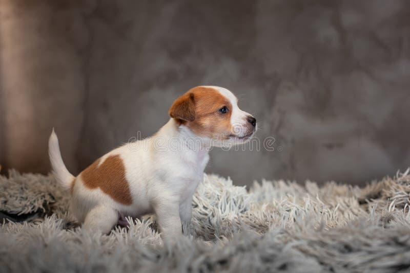Chiot de Jack Russell Terrier avec des taches sur le museau, se reposant sur un tapis de Terry image libre de droits