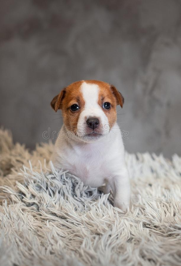 Chiot de Jack Russell Terrier avec des taches sur le museau, se reposant sur un tapis de Terry photos stock