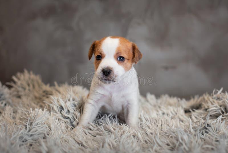 Chiot de Jack Russell Terrier avec des taches sur le museau, se reposant sur un tapis de Terry images stock