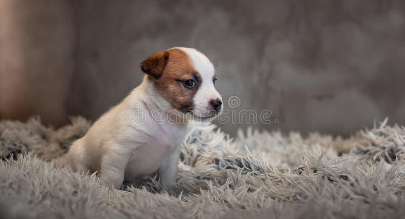 Chiot de Jack Russell Terrier avec des taches sur le museau, se reposant sur un tapis de Terry photo libre de droits