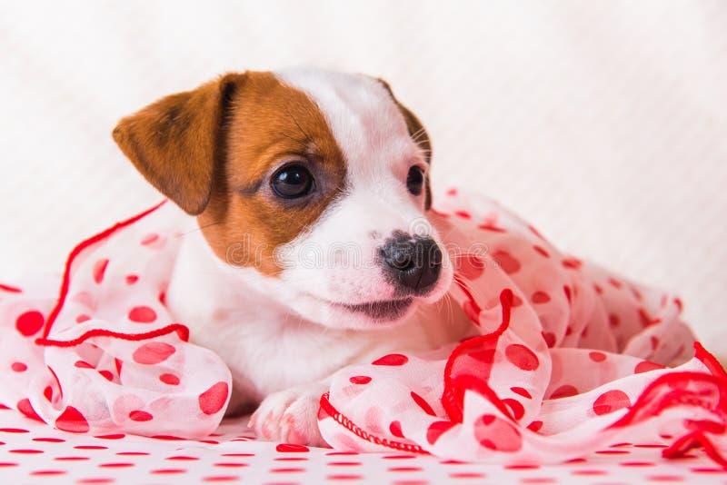 Chiot de Jack Russell Terrier avec l'écharpe en soie de points de polka photo libre de droits