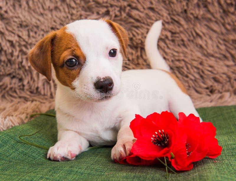 Chiot de Jack Russell Terrier avec la fleur rouge de pavot photos stock