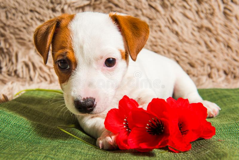 Chiot de Jack Russell Terrier avec la fleur rouge de pavot photo libre de droits