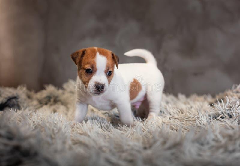 Chiot de Jack Russell Terrier avec les taches sur le museau, supports sur une couverture de Terry photo stock