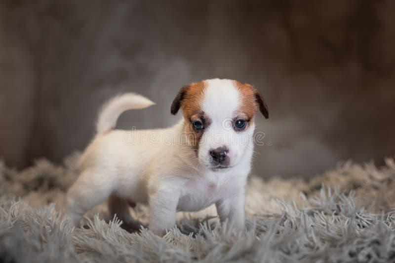 Chiot de Jack Russell Terrier avec les taches sur le museau, supports sur une couverture de Terry photos stock