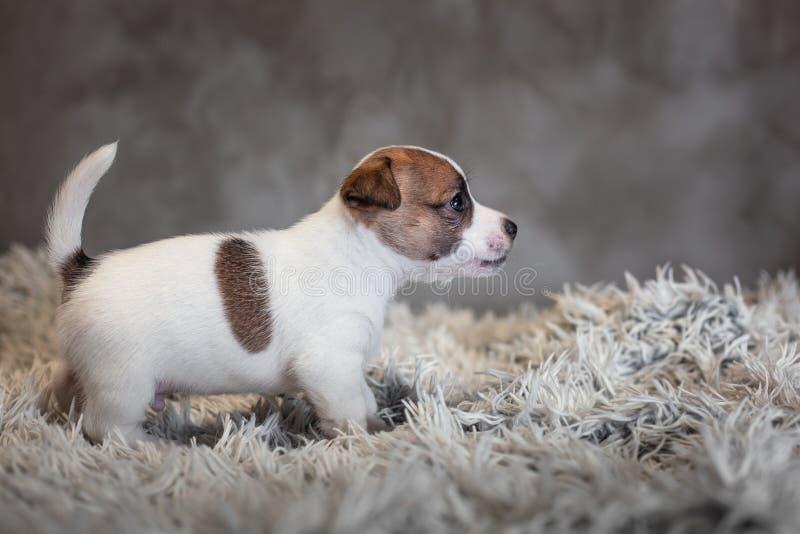 Chiot de Jack Russell Terrier avec les taches sur le museau, supports sur une couverture de Terry photo libre de droits