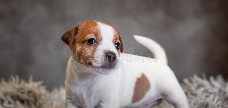 Chiot de Jack Russell Terrier avec les taches sur le museau, supports sur une couverture de Terry image libre de droits