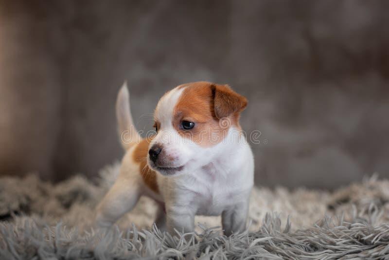 Chiot de Jack Russell Terrier avec les taches sur le museau, supports sur une couverture de Terry image stock