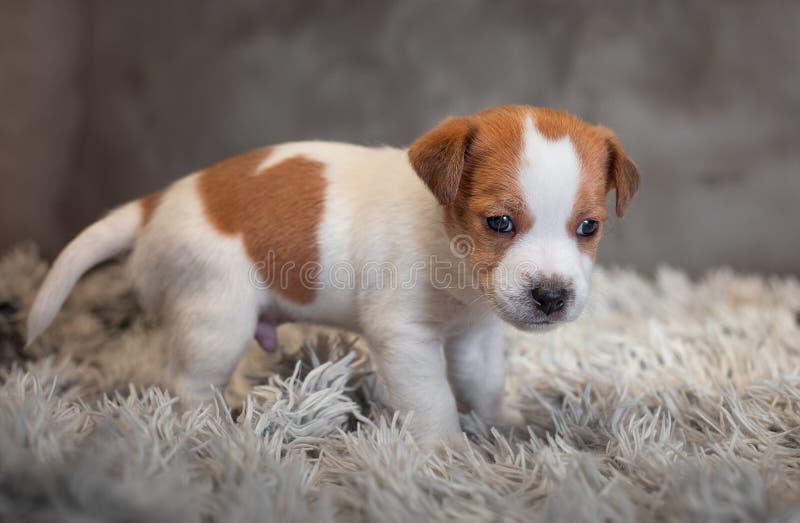 Chiot de Jack Russell Terrier avec les taches sur le museau, supports sur une couverture de Terry photographie stock