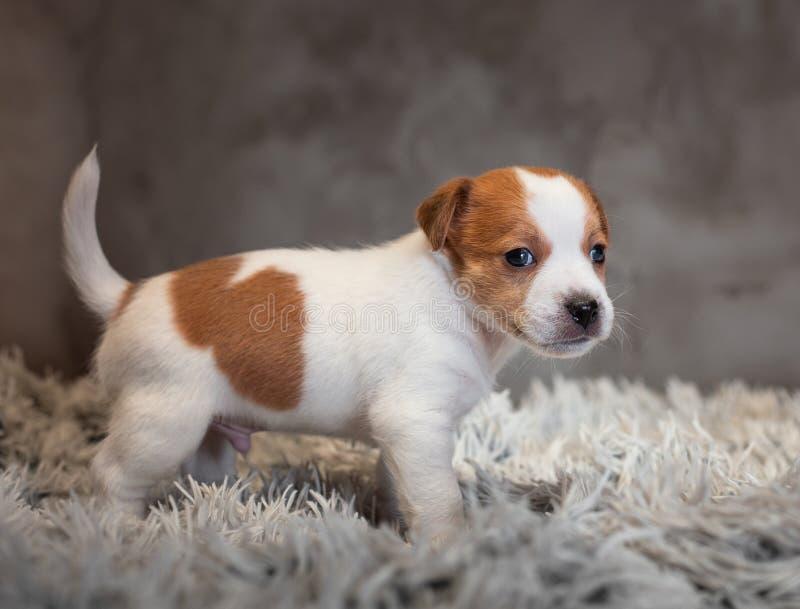 Chiot de Jack Russell Terrier avec les taches sur le museau, supports sur une couverture de Terry photos libres de droits