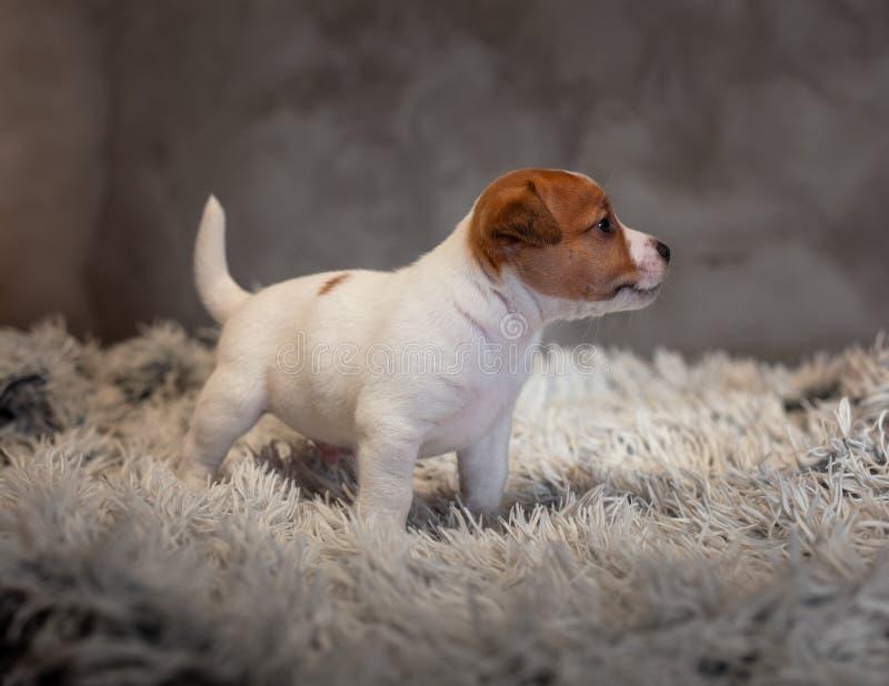 Chiot de Jack Russell Terrier avec les taches sur le museau, supports sur une couverture de Terry images stock