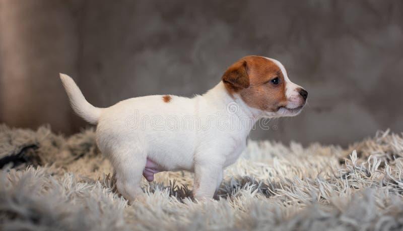 Chiot de Jack Russell Terrier avec les taches sur le museau, supports sur une couverture de Terry photographie stock libre de droits