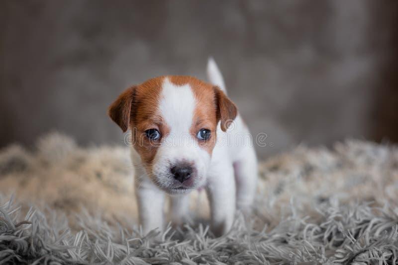 Chiot de Jack Russell Terrier avec les taches sur le museau, supports sur une couverture de Terry images libres de droits