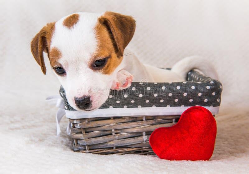 Chiot de Jack Russell Terrier dans le panier avec le coeur rouge photos stock