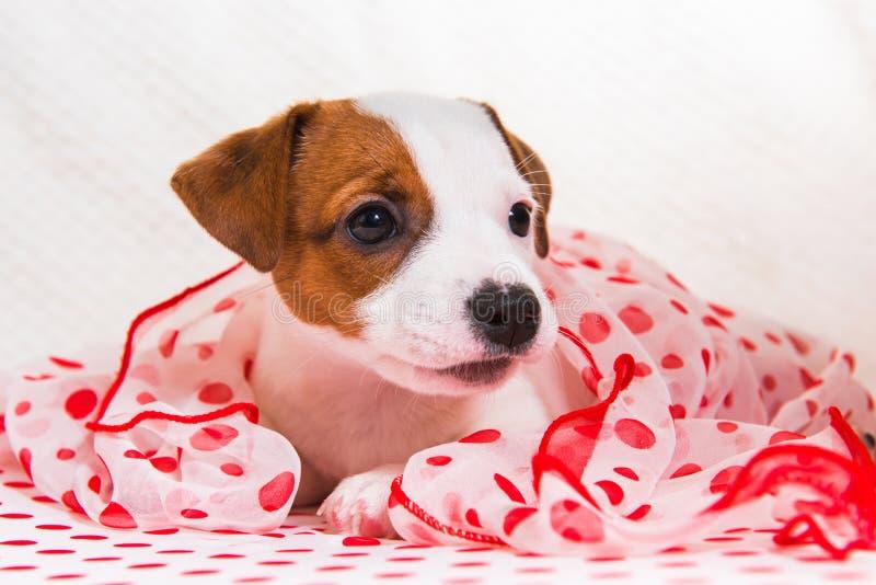 Chiot de Jack Russell Terrier dans le rétro style photographie stock