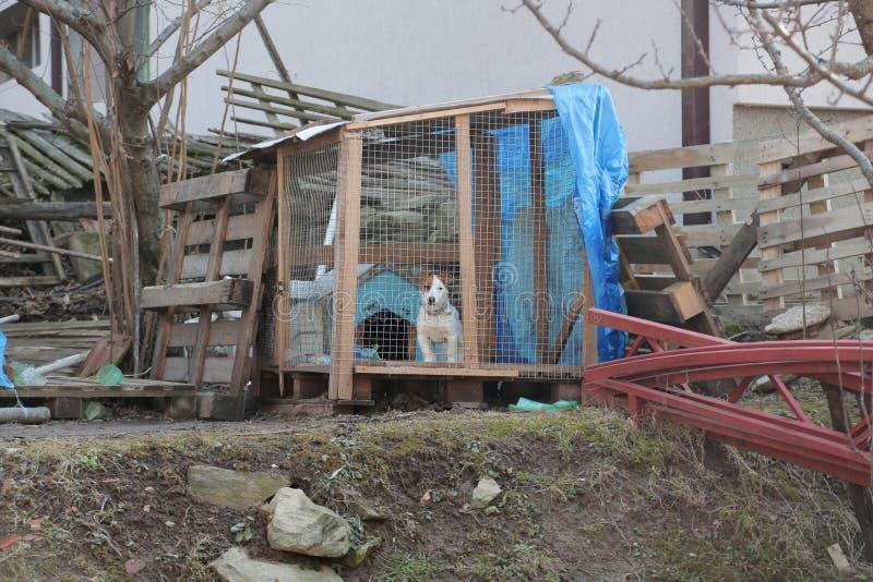 Chiot de Jack Russell Terrier verrouillé dans une cage photos libres de droits