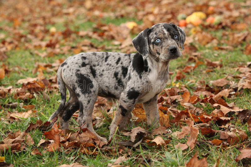 Chiot de la Louisiane Catahoula en automne photos libres de droits