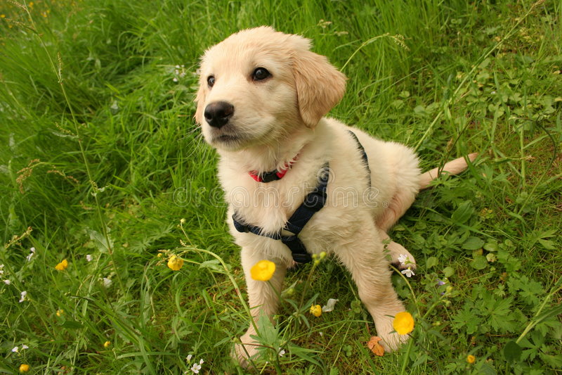 Chiot de Labrador images libres de droits