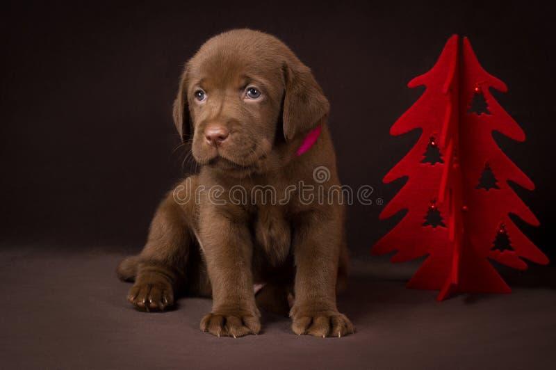Chiot de Labrador de chocolat se reposant sur le brun image stock