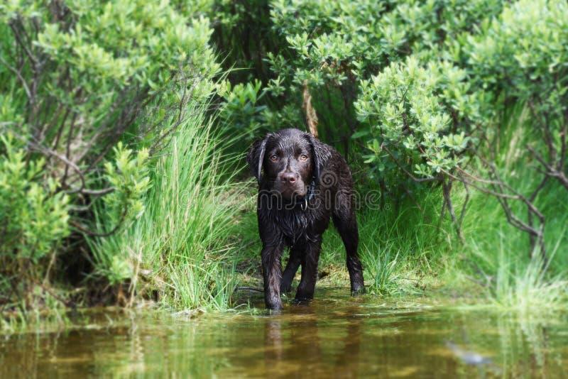 Chiot de Labrador effrayé de l'eau images libres de droits