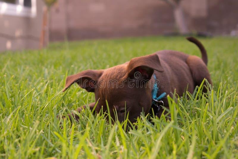 Chiot de Labrador jouant dans l'herbe images stock
