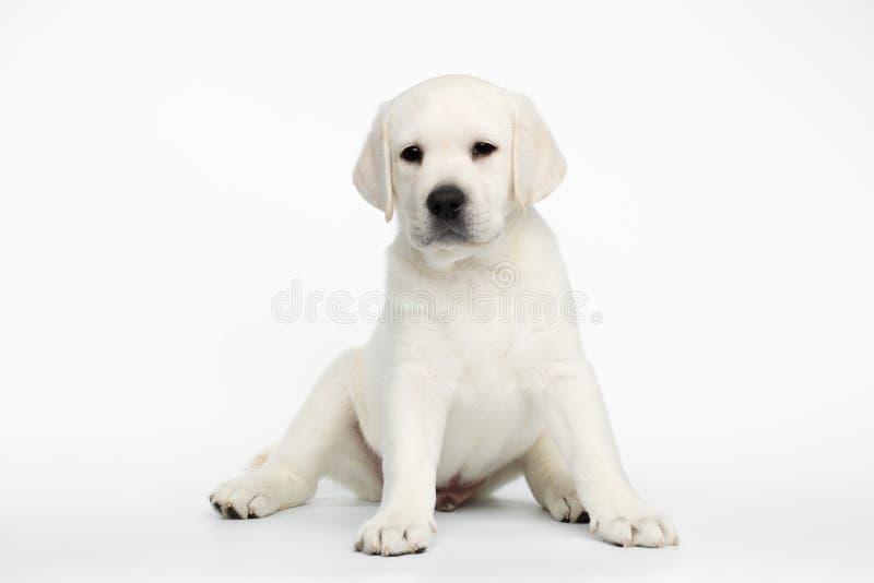 Chiot de Labrador sur le fond blanc photos stock