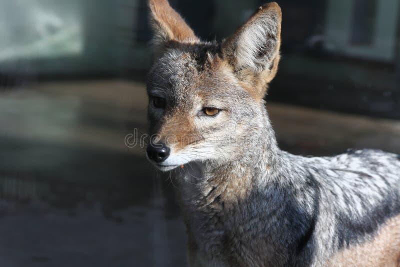 Chiot de loup photo libre de droits