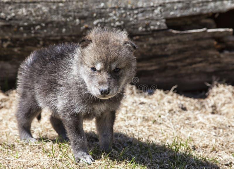 Chiot de loup de bois de construction photo libre de droits
