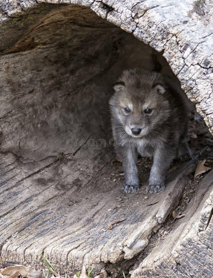 Chiot de loup de bois de construction image stock