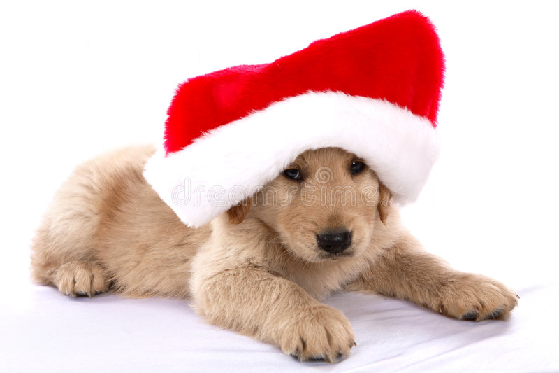 Chiot de Noël photo stock