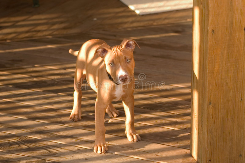 Chiot De Pitbull Photos stock