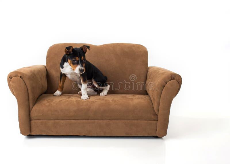 Chiot de Rat terrier sur le divan photographie stock libre de droits