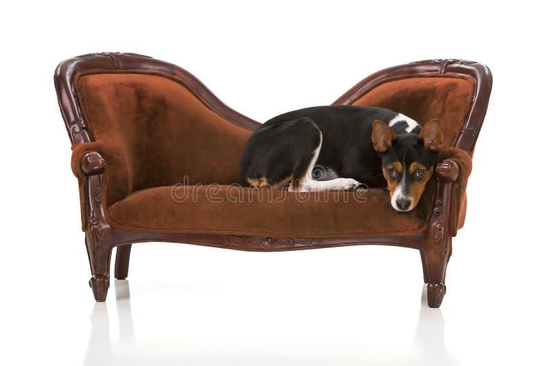Chiot de Rat terrier sur le divan de velours image stock