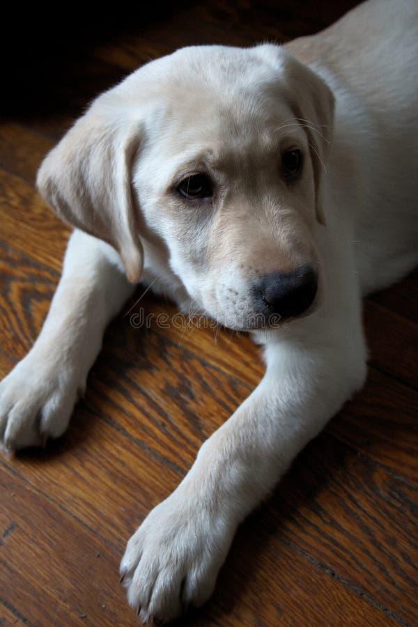 Chiot de repérage du Labrador jaune de Purebred posé sur le plancher en bois photographie stock