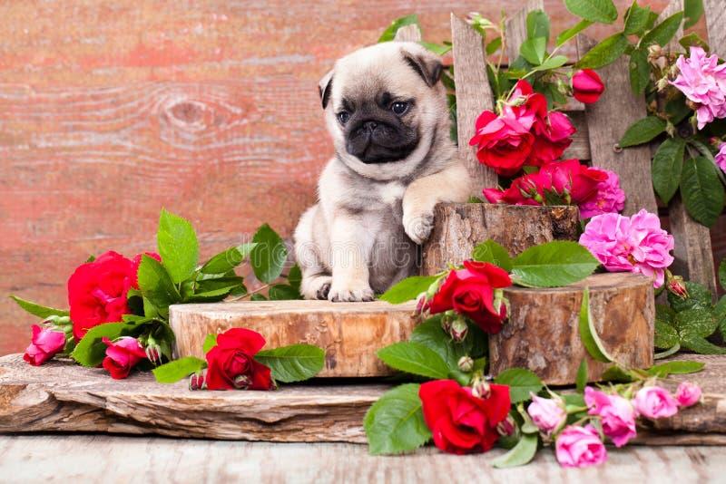 Chiot de roquet et roses de fleurs photos stock
