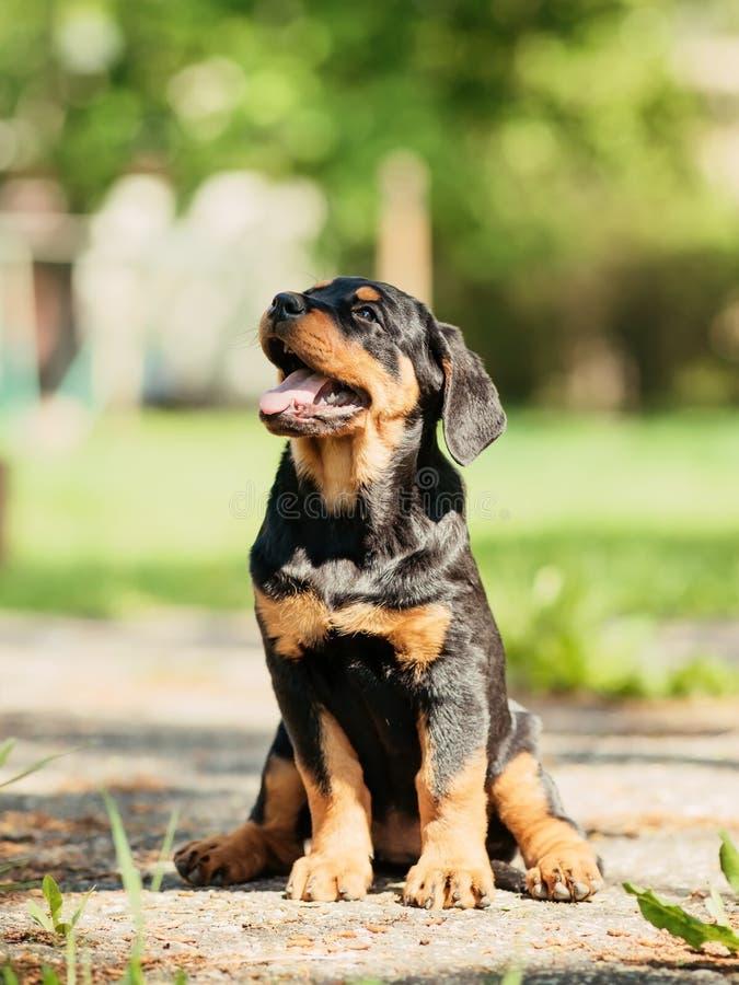 Chiot de Rottweiler photo libre de droits