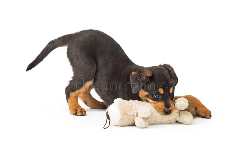 Chiot de rottweiler jouant avec la peluche photo libre de droits
