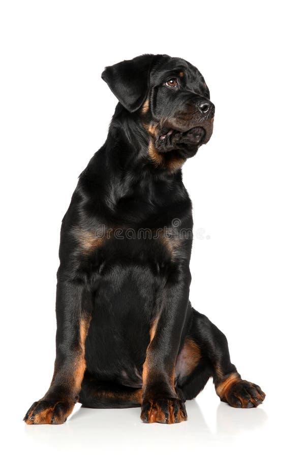Chiot de rottweiler sur le fond blanc photographie stock libre de droits