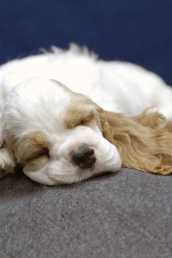 Chiot de sommeil photos stock