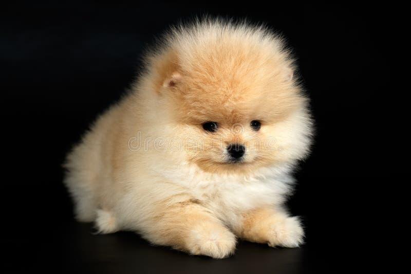 Chiot de Spitz de Pomeranian d'Allemand de Cutie sur le fond noir photographie stock