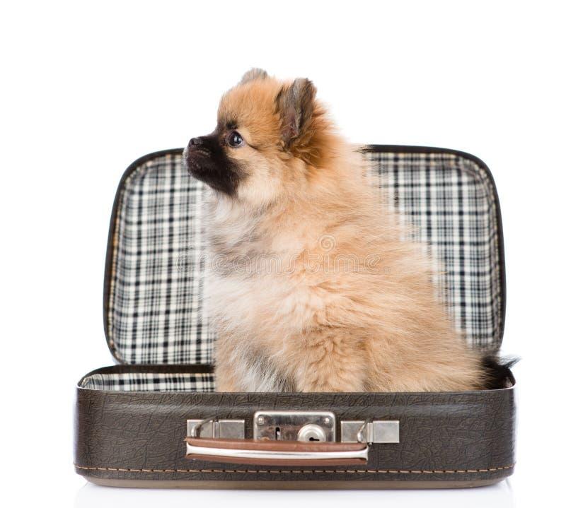 Chiot de Spitz se reposant dans la valise de vintage sur le blanc images libres de droits