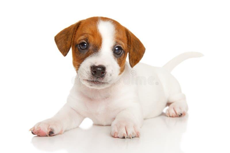 Chiot de terrier de Jack Russell sur le blanc photo stock
