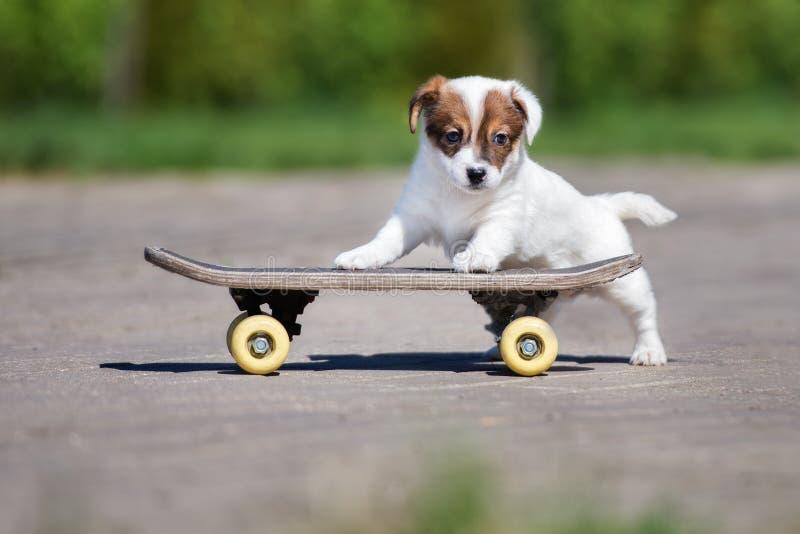 Chiot de terrier de Jack Russell sur une planche à roulettes image libre de droits