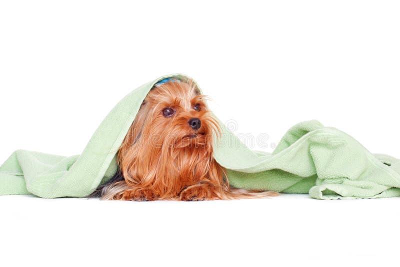 Chiot de terrier de Yorkshire images stock