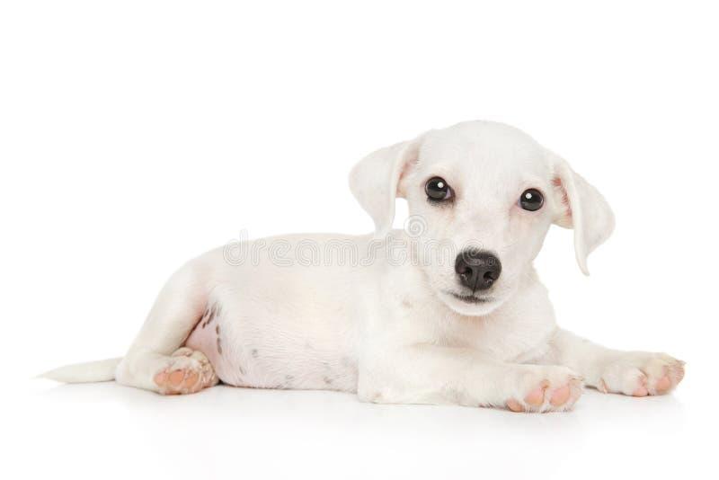 Chiot de terrier de Jack Russell sur le fond blanc photographie stock libre de droits