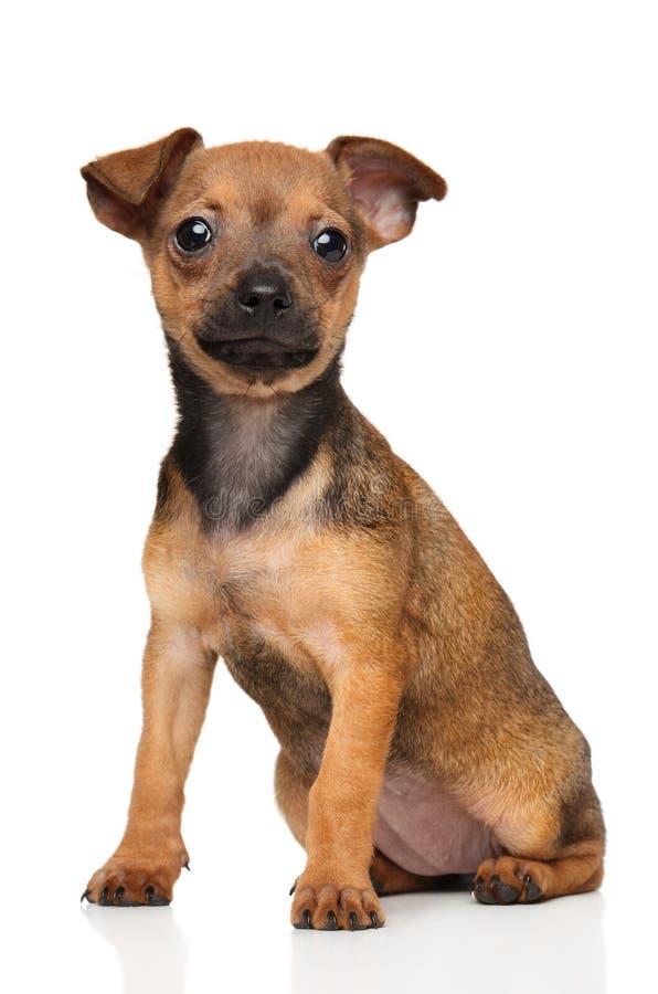 Chiot de Toy Terrier sur le fond blanc photographie stock libre de droits
