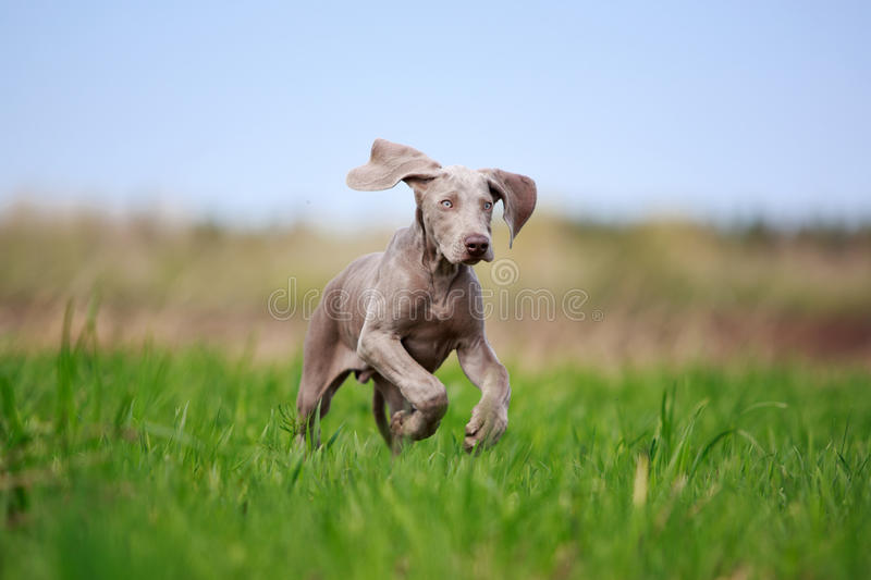 Chiot de Weimaraner photo stock